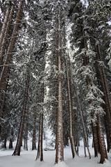 Trees at Silver Lake