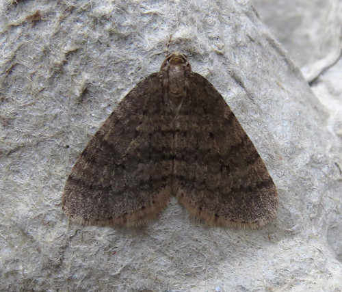 Winter Moth Operophtera brumata Tophill Low NR, East Yorkshire December 2017
