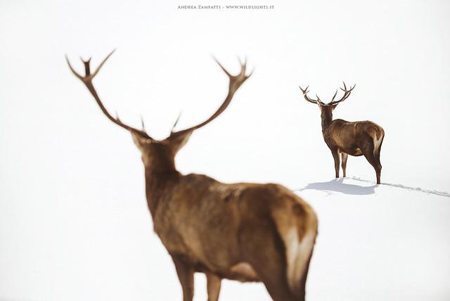 Red deers