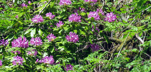 Purple Rhododendrons at Swallow Falls in Wale