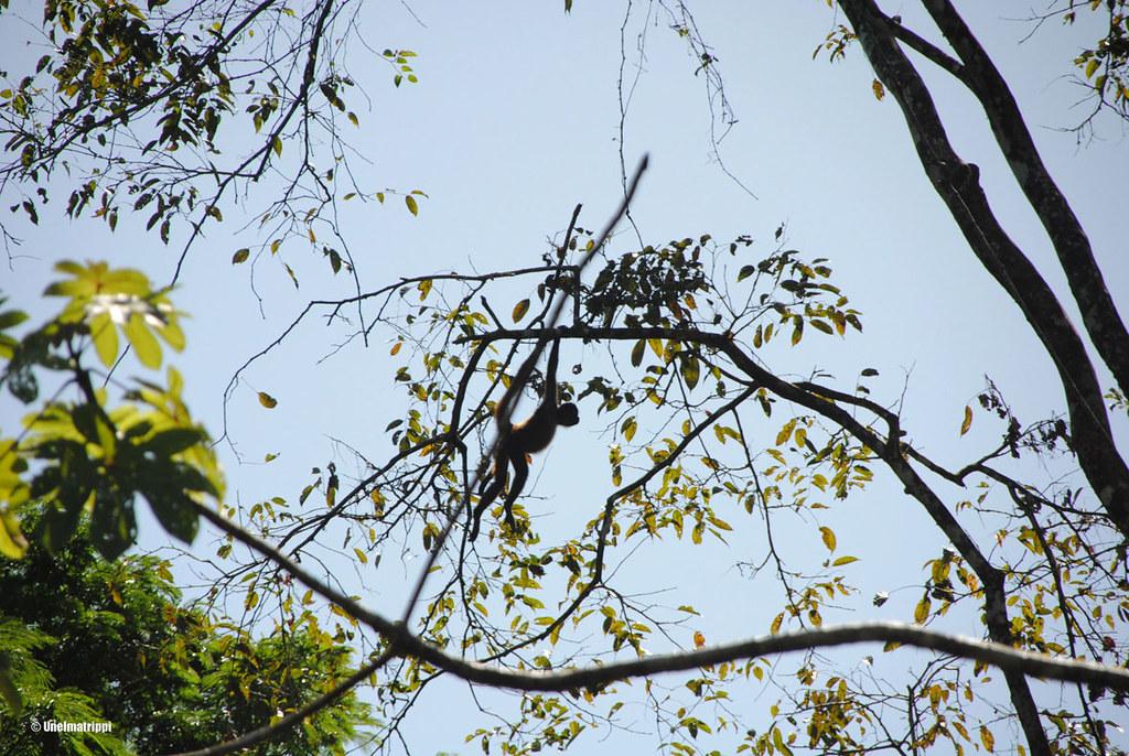 Apina puussa, Tortuguero, Costa Rica