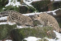 Snow Leopard Dinner Table
