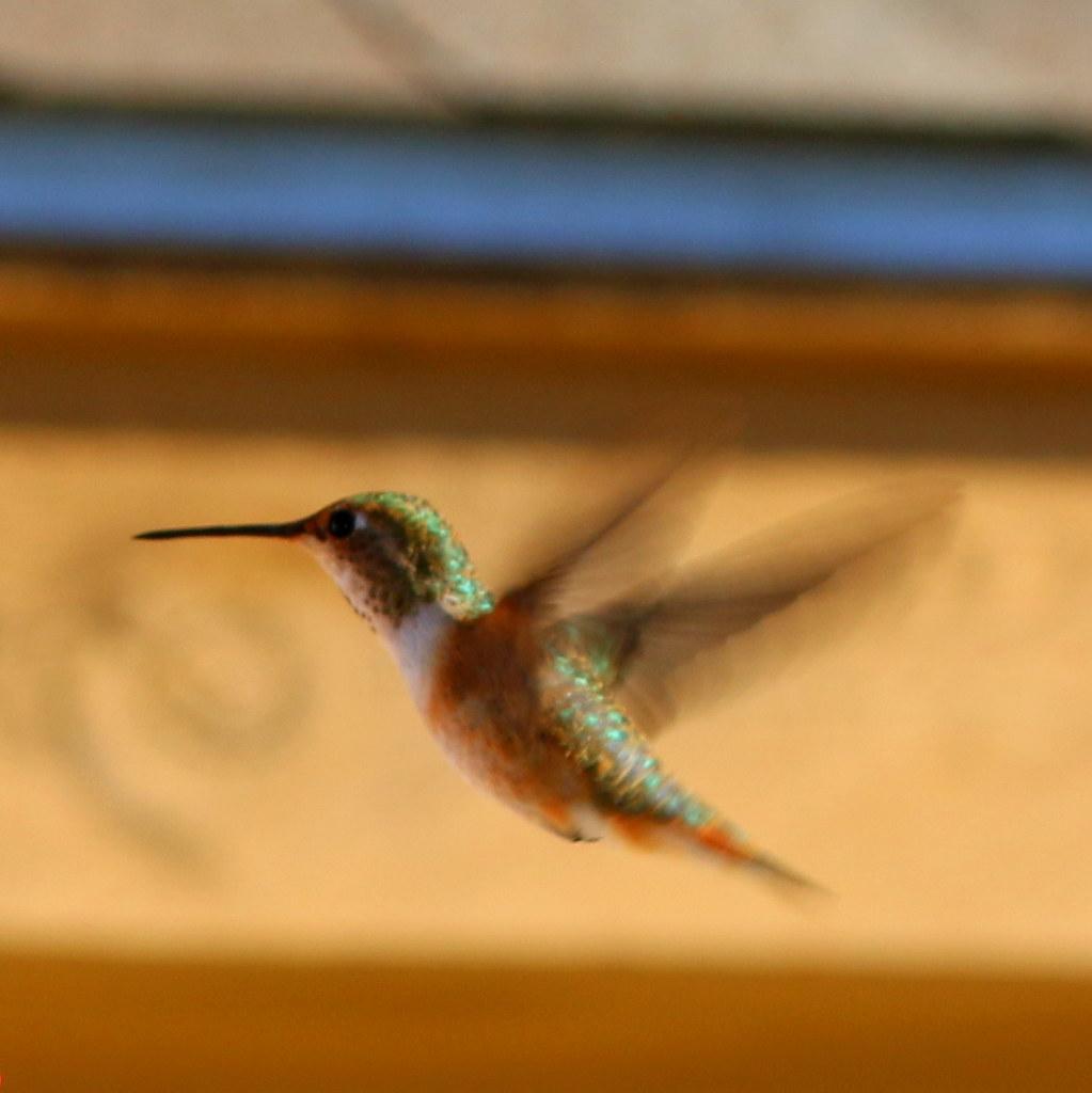 Rufous or Allen's Hummingbird