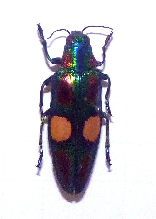 Chrysochroa ocellata 38532097324_204404d085_o