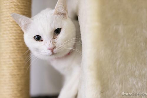 アトリエイエネコ Cat Photographer 38541060325_1be3ce1d01 1日1猫!高槻ねこのおうち 里親募集中のゆきちゃんです♪ 1日1猫!  高槻ねこのおうち 里親様募集中 猫写真 猫 子猫 大阪 写真 保護猫 カメラ Kitten Cute cat