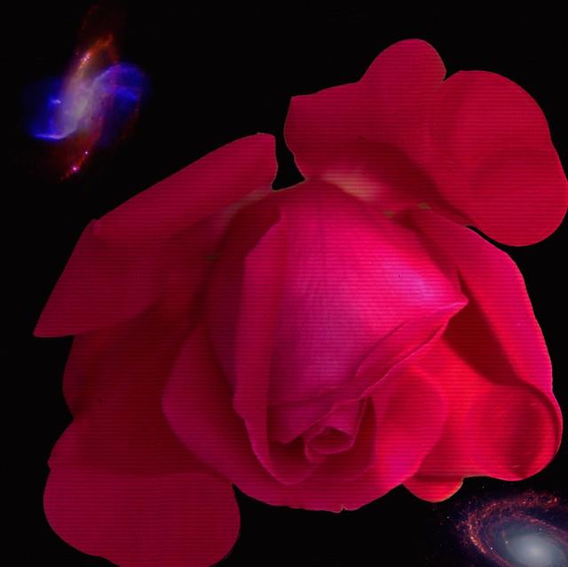 Guelph Ontario Canada ~ Guelph University ~ Arboretum ~  Red Rose