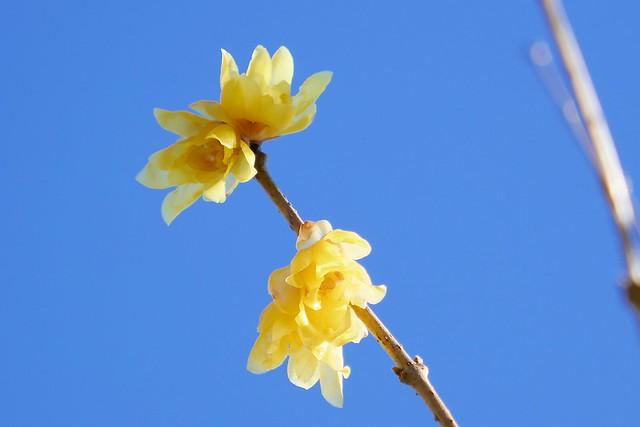 Nagatoro_Wintersweet_(2018_01_02)_11_resized_1 蝋梅の木の枝を撮影した写真。 右下から左上へ向かって枝が伸びている。 黄色の花を幾つか咲かせている。