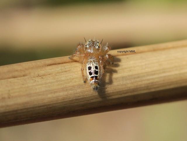 Chiang Mai Salticidae