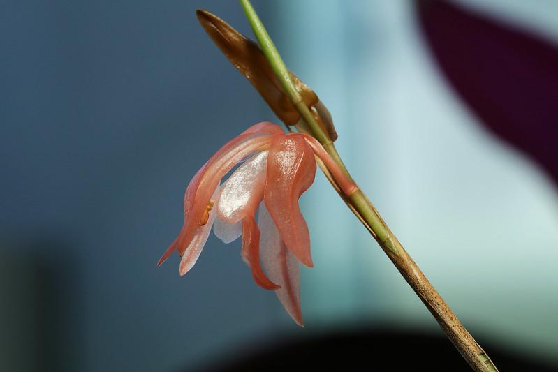 Coelogyne stenochila  セロジネ 詳細不明