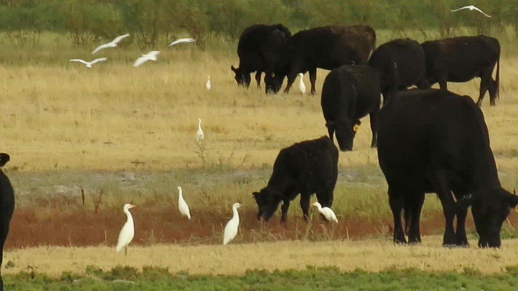 Cattle Egret (Bubulcus ibis), Bear River Migratory Bird Refuge, Brigham City, Utah