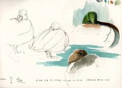 Dernier croquis de l'année 2017. Petite étude sur le canard colvert (Anas platyrhynchos) au repos.