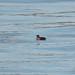 <p><a href=&quot;http://www.flickr.com/people/maritimeorca/&quot;>maritimeorca</a> posted a photo:</p>&#xA;&#xA;<p><a href=&quot;http://www.flickr.com/photos/maritimeorca/25125792438/&quot; title=&quot;Rhinoceros Auklet&quot;><img src=&quot;http://farm5.staticflickr.com/4642/25125792438_05aef64b0d_m.jpg&quot; width=&quot;240&quot; height=&quot;160&quot; alt=&quot;Rhinoceros Auklet&quot; /></a></p>&#xA;&#xA;<p>Rhinoceros Auklet (Cerorhinca monocerata) at Point Defiance Park</p>