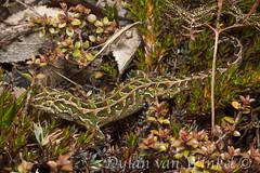 Tukutuku rakiurae (Harlequin gecko)