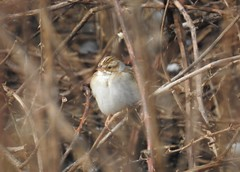 Lifer Clay-colored Sparrow