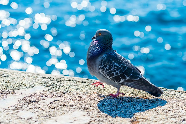 pigeon-517244_1920