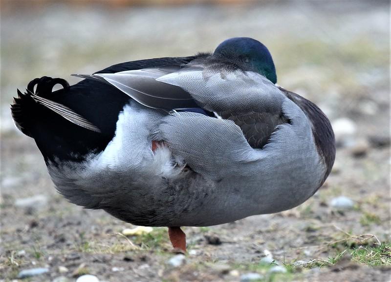 Ducks 06.01 (6)