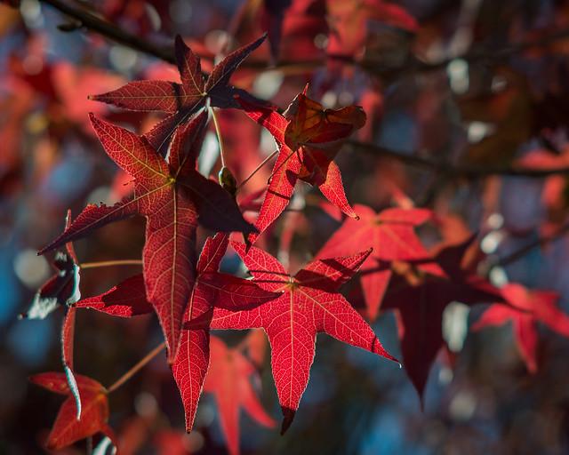 My Lens Test Tree, Nikon D800E, AF DC-Nikkor 135mm f/2D