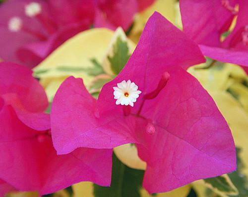 Hot Pink Bougainvillea Flower