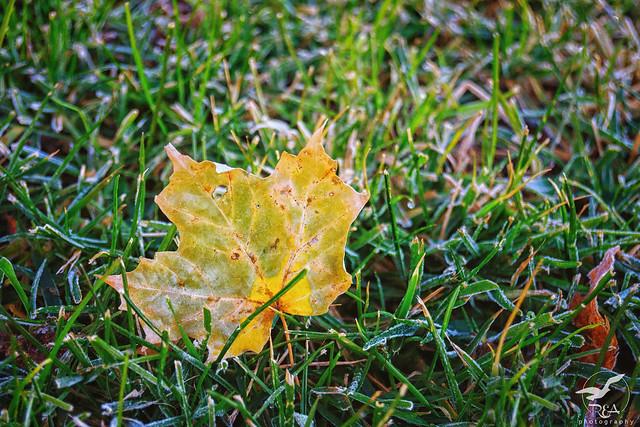 The Last Golden Leaf of Autumn