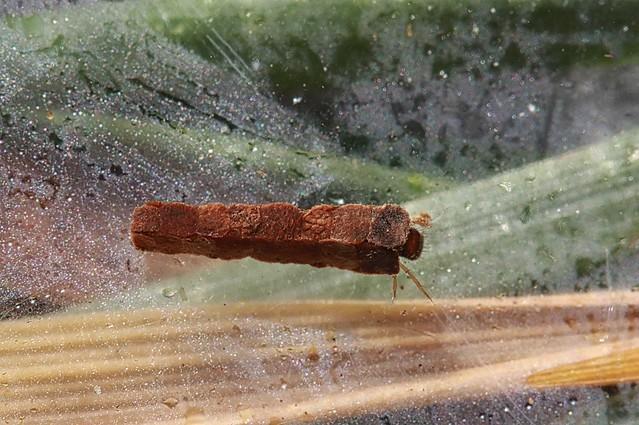 Header of Lepidostomatidae