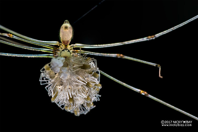 Daddy-long-legs spider (Pholcidae) - DSC_4727
