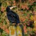 Cormorant - Widewater (18)