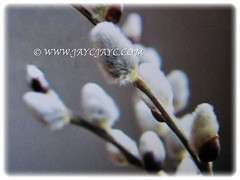 Soft and fluffy catkins of Salix discolor (American Pussy Willow, American Willow, Large Pussy Willow, Pussy Willow, Glaucous Willow), 4 Jan 2018