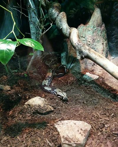 Boa constrictor #toronto #torontozoo #reptiles #snakes #boaconstrictor #latergram