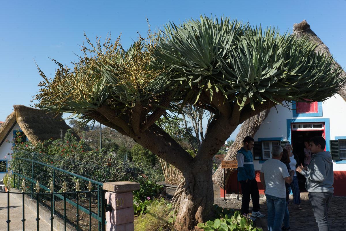 Драконовое-дерево_DSC09861