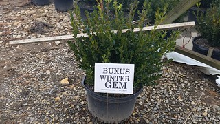 Buxus Winter Gem 5 gal 18-24 | by Johnson Farms