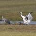 Whooping Crane landing by Sandhill Crane