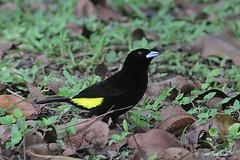 1.28187 Tangara à dos citron (mâle) / Ramphocelus icteronotus / Lemon-rumped Tanager (male)