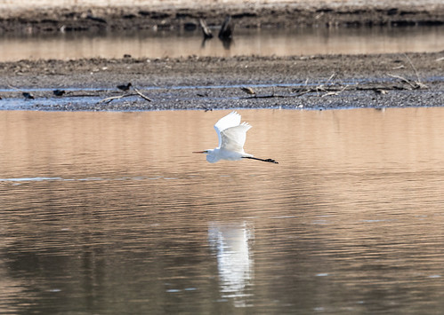 egret_in_flight-20171227-111