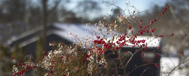 Winterberry bush POV kitchen; 22 Parker Rd, Wakefield, Massachusetts (2017)