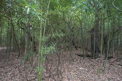 Bamboo Forest - O.P. Schnabel Park - San Antonio - Texas - 26 February 2017