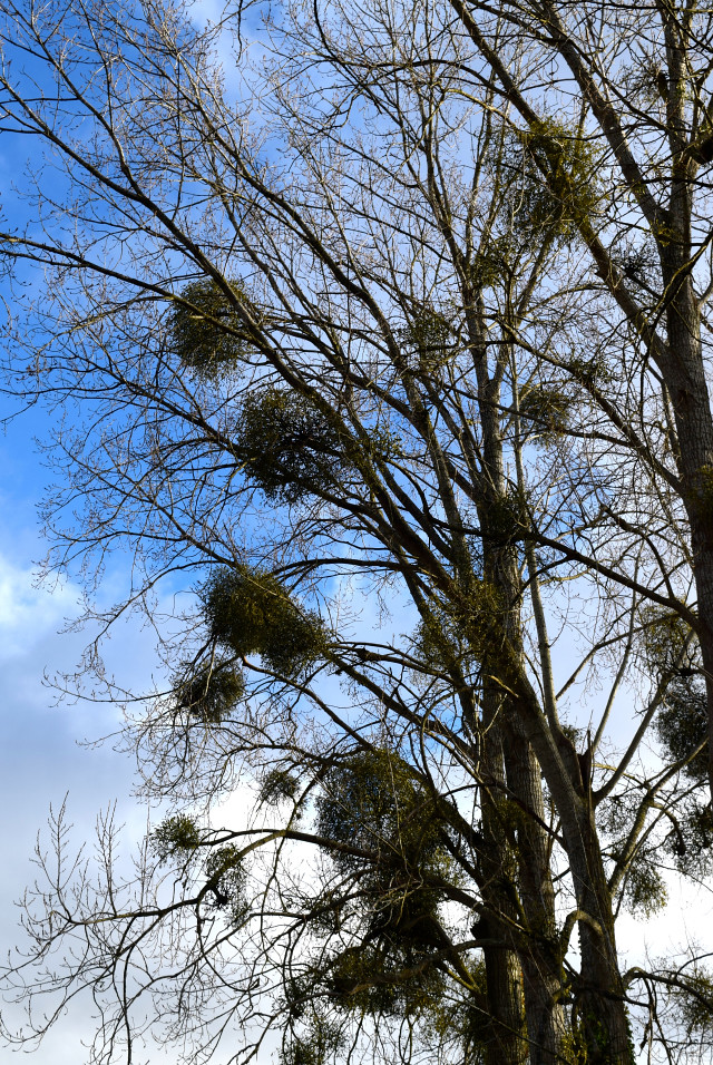 Mistletoe in Brittany, France #mistletoe #france #brittany