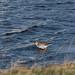 Redshank - Widewater (33)