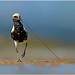 Black-bellied Plover by BN Singh