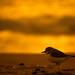 Lesser sand plover (சிறிய உப்பு கொத்தி)