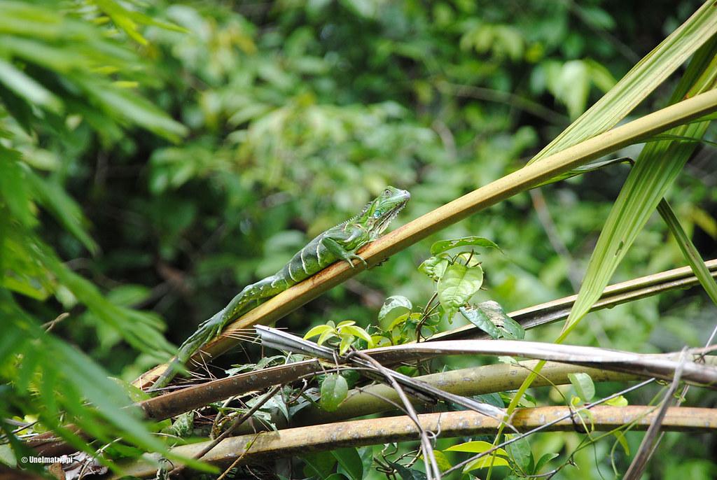 Lisko oksalla, Tortuguero, Costa Rica