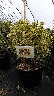 Euonymus Silver Queen 7 gal 24-30 | by Johnson Farms