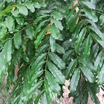Khaya senegalensis leaves