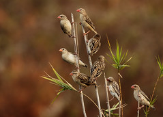Red Billed Quelea