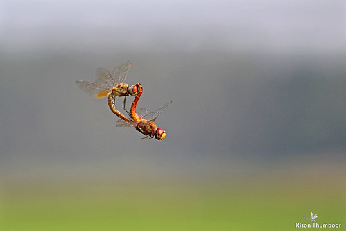 pantalaflavescens wanderingglider dragonflies dragonflymating