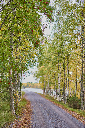 fall autumn haapajärvis reservoir raahe finland landscape road gravel trees lake forest birch leaves morning september sony a7r 50mm f18 rowan berries
