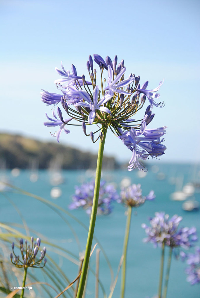 Kaunis kukka Waiheken saarella, Uusi-Seelanti