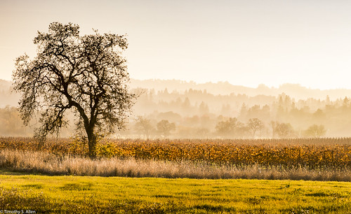 california lagunadesantarosa santarosa landscape trees golden hour vineyard hazy light sonomacounty oaktree field