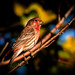 Mr House Finch