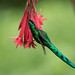 Long-tailed Sylph by Christine Miller