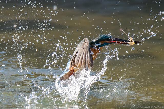 20171225-kingfisher-DSC_2403